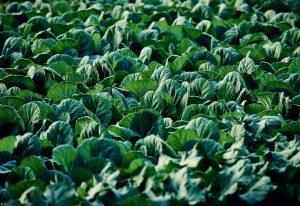 Cabbage Farmers Australia | Cabbage Exporters to Singapore, Indonesia, Philippines & Malaysia